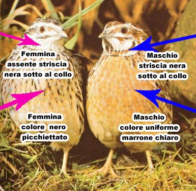 sesso_quaglia