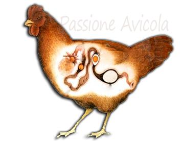come sono i pidocchi delle galline